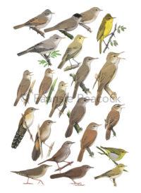 Warblers_Faansie-Peacock_LowRes