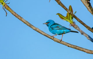dacnis-blue_Vas_Panama_Jan16_53