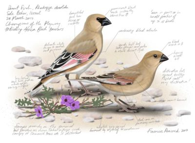 Desert-Finches_FaansiePeacock