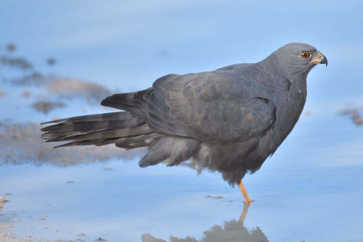 Melanistic Ovambo Sparrowhawk