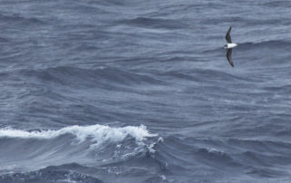 Petrel Softplumaged_Flock_Apr17