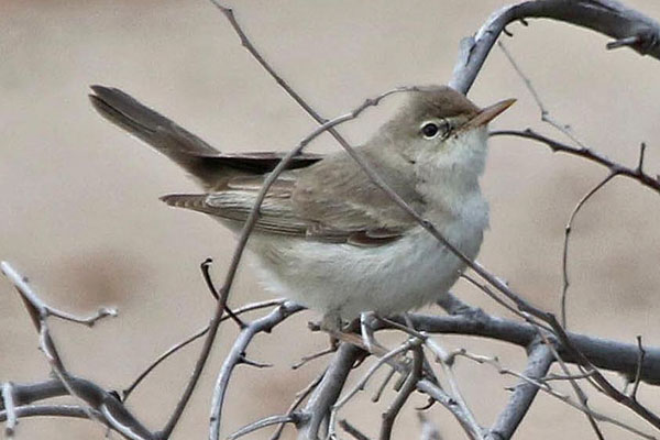 The Tantalizing Tankatara Warbler